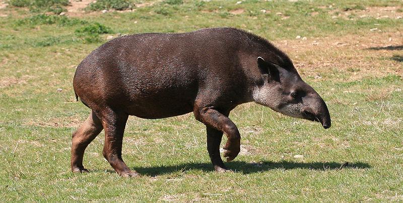 Необычные животные планеты - Тапир