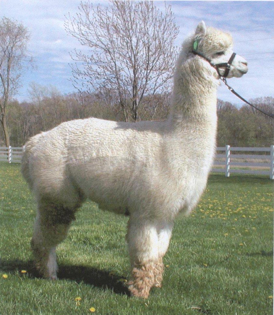 Самые необычные животные фото - Альпака