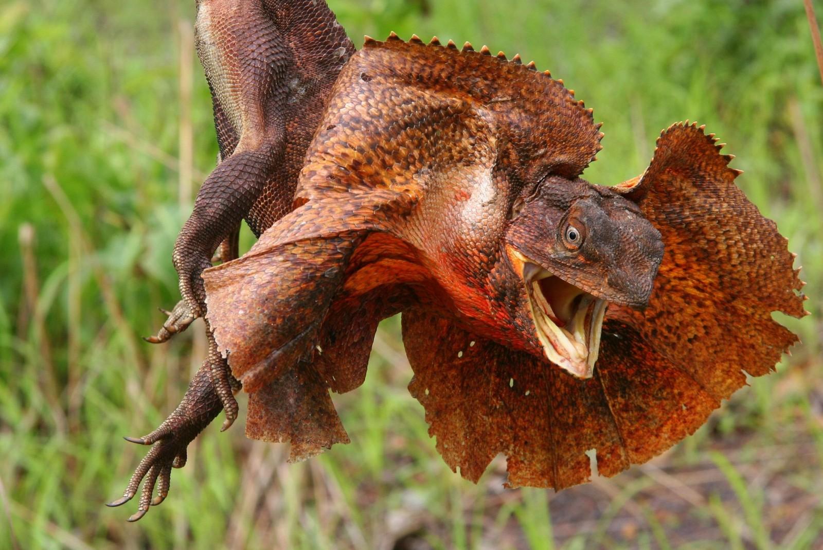 Топ 10 самых необычных животных - Плащеносная ящерица