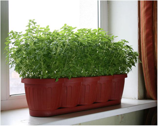 Петрушка полезные и лечебные свойства - выращивание петрушки.