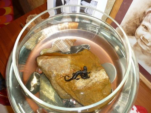 Тритон в домашних условиях в аквариуме