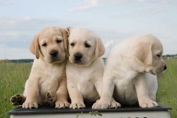 Как правильно выбрать породу собаки - щенка для ребенка и для квартиры