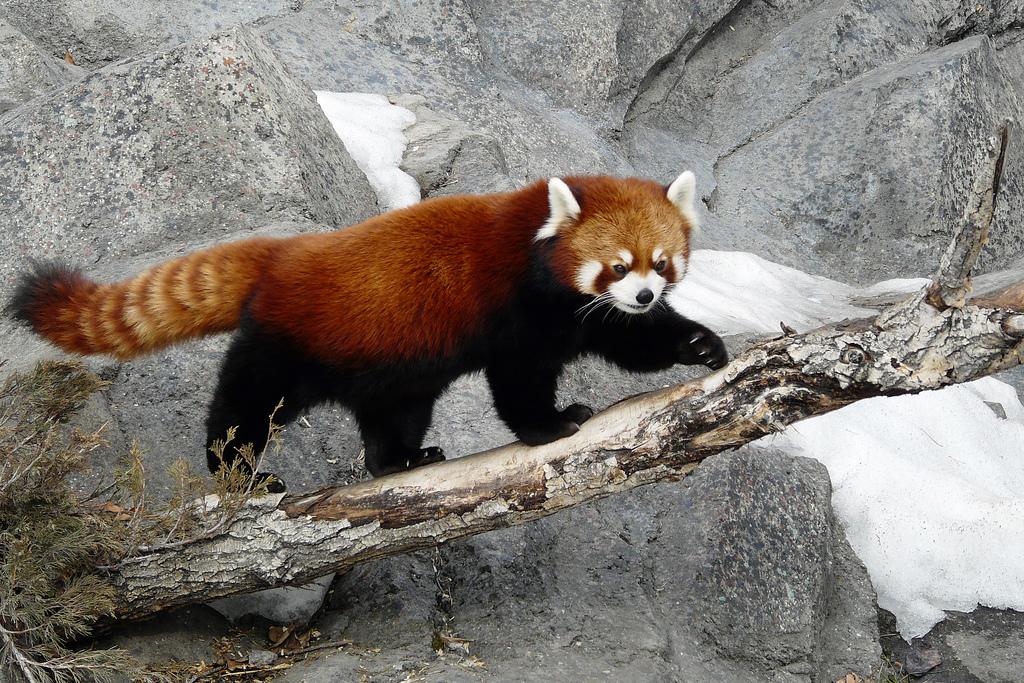 Необычные животные мира - Малая панда
