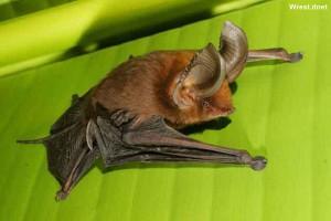 Редкие необычные животные - Мадагаскарский присосконог