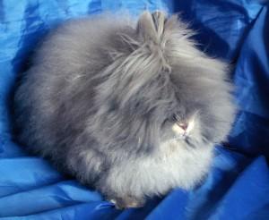 Самые необычные животные - Ангорский кролик