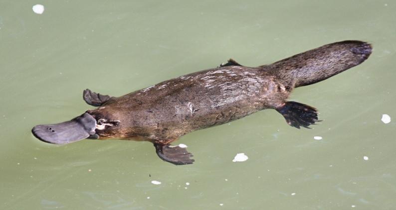 Удивительные и необычные животные - Утконос