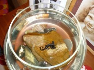 Содержание тритонов в аквариуме
