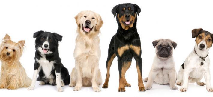 Самая дорогая собака в мире - топ 5 пород собак - фото - цена
